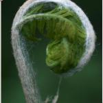 varenblad in groei