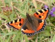 vlinder-vos-2